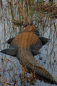 Alligator photo by Elise Pearlstine